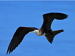 什么鸟飞的最快?鸟类飞行速度十大排名
