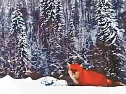 大兴安岭红狐 毛皮发红宛如雪地精灵