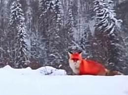红狐现身大兴安岭 红狐毛色鲜红或因基因突变
