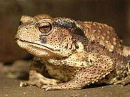 误食盘古蟾蜍中毒 盘古蟾蜍与青蛙的区如何鉴别