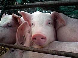 4万吨中央储备冻猪肉将投放 元旦春节择机增加中央冻猪肉储备投放