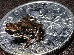 7.7毫米小青蛙 是世界上最小的脊椎动物