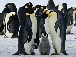 海冰破裂数千企鹅幼仔被淹死 20年后北极冰川或将消失