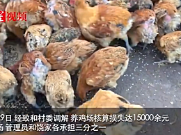 246只土鸡被吓死 鸡之死与烟花有无因果关系