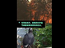 澳洲山火连烧3月 当地喜鹊已学会火警鸣笛声