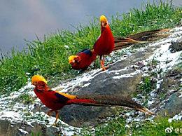 雪地里的红腹锦鸡每一帧都是国画 为中国特有鸟种