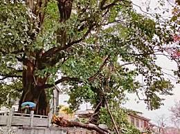 大理古城500年情侣树被风吹断 两棵树的树龄已有500年