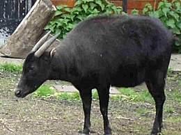 世界上最小的牛 体型仅有山羊大小
