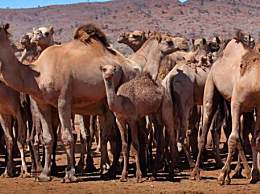 澳大利亚射杀骆驼近万头 因为它们喝了太多水