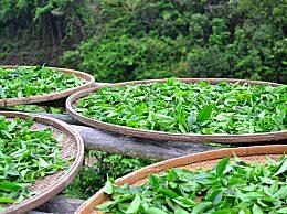 专家称茶叶含大量危险微生物 喝茶泡茶还有这些讲究