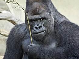 世界上最帅的大猩猩 颜值超高女粉众多