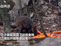 澳政府空投食物救助野生动物 数千斤胡萝卜白薯从天而降