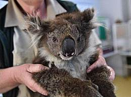 考拉或将成濒危物种 澳山火使考拉种群遭遇严重摧毁