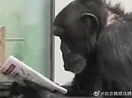秦岭动物园大猩猩看报纸 这只大猩猩要成精了