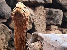 地表最强乌龟!50年生800个孩子太彪悍