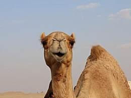 澳大利亚已射杀5000头骆驼 干旱期野生骆驼侵占水源