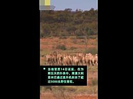 澳大利亚已射杀5000头骆驼 为防止与居民抢食物和水源