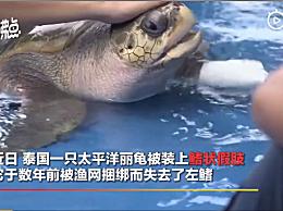 """泰国兽医给残疾海龟装假肢 """"正学习利用假肢转身"""""""