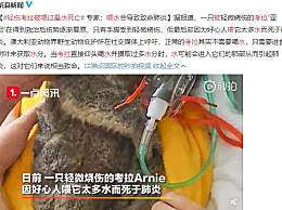 轻伤考拉被喂过量水死亡 专家称喂水会导致致命肺炎
