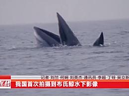 """国内首次拍摄到布氏鲸水下影像 是鲸类中""""神秘人"""""""