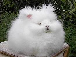 世界上毛最长的兔子 安哥拉兔享誉全球