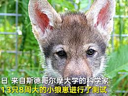 小狼崽也玩抓球游戏 或可证明取球是犬类动物本能