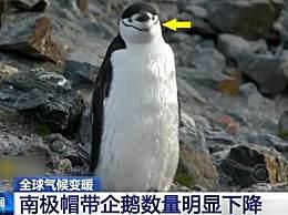 帽带企鹅数量明显下降 南极成受气温影响最大的地方之一