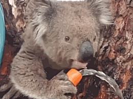 万人联名要求考拉迁入新西兰 澳大利亚考拉生存环境堪忧