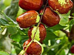 阿胶枣是什么枣 阿胶枣和普通的红枣有什么区别