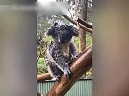 澳大火过后又来暴雨 考拉被雨淋到怀疑人生