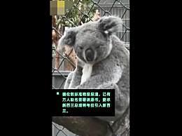 """万人联名要求考拉迁入新西兰 考拉将""""移民""""新西兰?"""