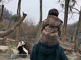黄晓明带小海绵逛动物园 儿子骑爸爸肩上看熊猫