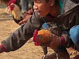 男子被一只鸡杀死 全是斗鸡惹的祸!