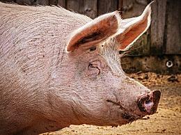 """重庆景区回应让猪蹦极 本意为""""猪肉降价""""国泰民安"""