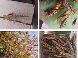 4000亿只蝗虫已到达印度和巴基斯坦 被入侵国家面临粮食危机