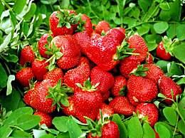 牛奶草莓真的是用牛奶浇灌的吗?权威专家来辟谣了