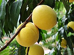 黄桃为什么多做成罐头?黄桃罐头上火还是降火
