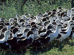 10万鸭子出征灭蝗 鸭兵灭蝗是否属实