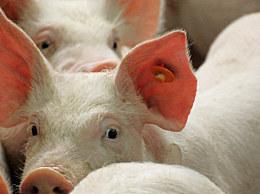 湖北现野猪猪瘟疫情 共发现死亡野猪7头