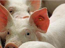 神农架现非洲猪瘟 共发现死亡野猪7头
