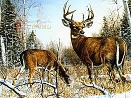 大批白唇鹿现身雪山 白唇鹿雪山上追逐嬉戏十分壮观