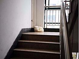 小区楼道出现白狐 宠物北极狐疑因疫情被弃养