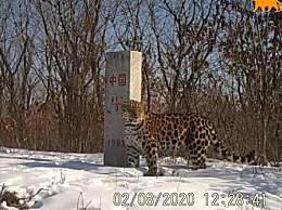 吉林东北虎豹影像 正在该省自由地生存繁衍