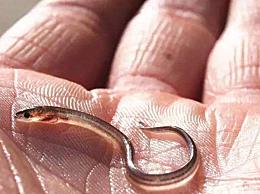 """因为价格高昂,被称为""""软黄金""""的鱼类?鳗鱼为什么被称作水中的软黄金"""