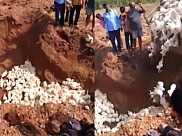 农民活埋6000只鸡 以为活鸡会传染人