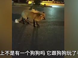 武大网红狐狸下山觅食!叫它名字还会有反应