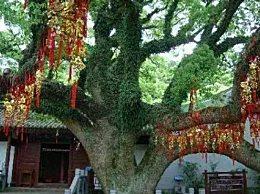 世界上最珍贵的树 全球仅剩一颗