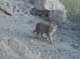 敦煌首次拍到荒漠猫 荒漠猫是什么样的动物资料简介