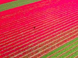 荷兰销毁百万鲜花 郁金香遭百年难遇危机