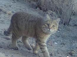 敦煌首次拍到荒漠猫 画面珍贵极其罕见